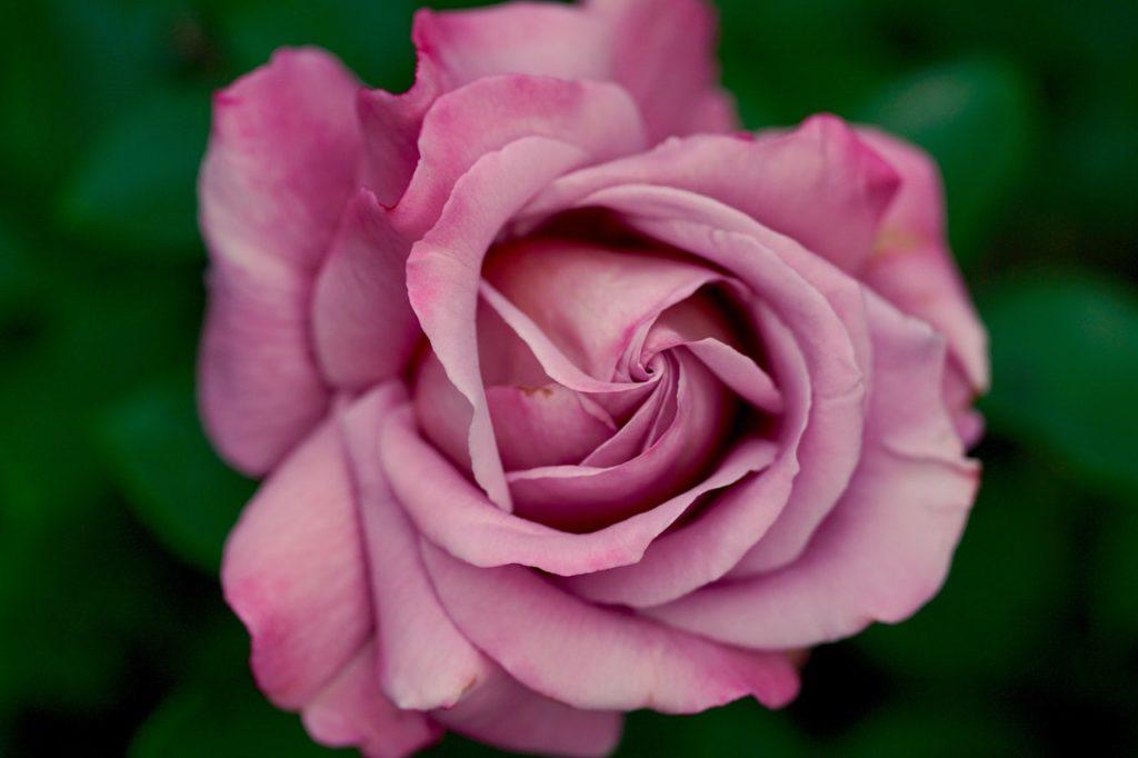 5 Arti Bunga Mawar Berdasarkan Warna 5