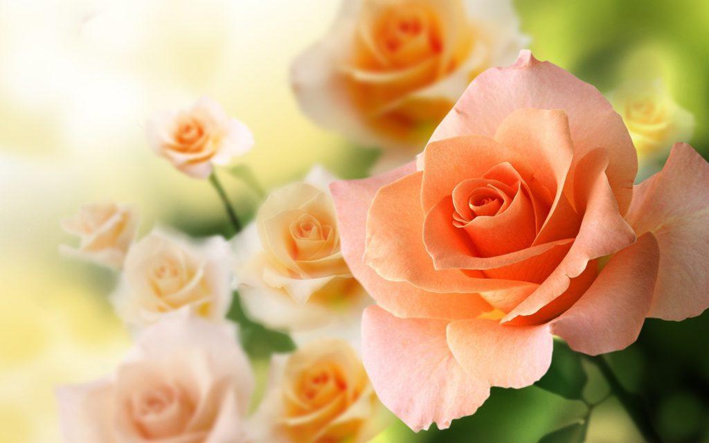 5 Arti Bunga Mawar Berdasarkan Warna 6