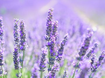 13 Manfaat Kesehatan Lavender, Bukan Sekedar Bunga yang Indah 13