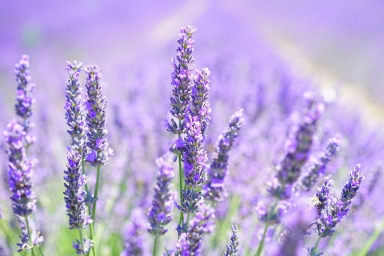 13 Manfaat Kesehatan Lavender, Bukan Sekedar Bunga yang Indah 1