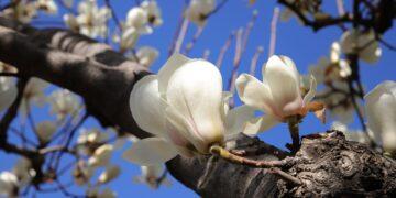 7 Manfaat Kulit Kayu Magnolia, Bisa Obati Kecemasan & Depresi 17