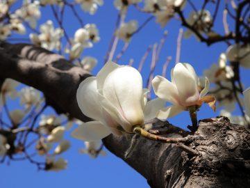 7 Manfaat Kulit Kayu Magnolia, Bisa Obati Kecemasan & Depresi 5