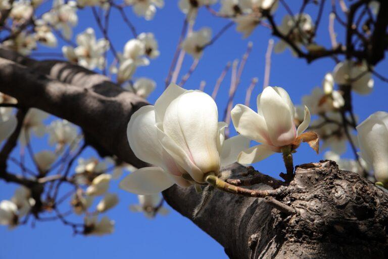 7 Manfaat Kulit Kayu Magnolia, Bisa Obati Kecemasan & Depresi 1