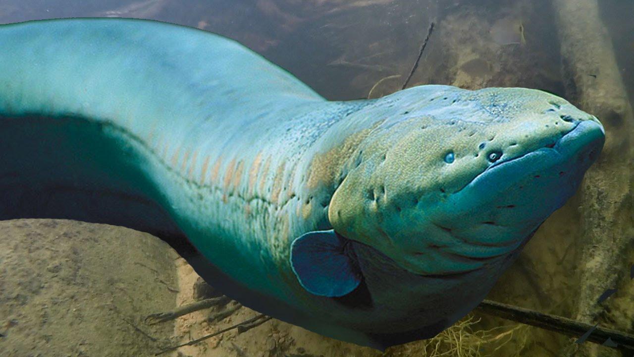 12 Ikan Air Tawar Terganas Di Dunia 6