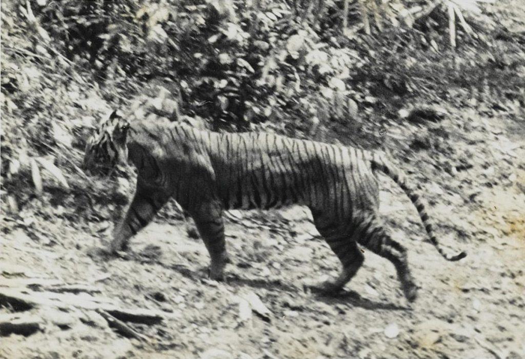 4 Hewan Asli Indonesia ini Ternyata Sudah Dinyatakan Punah 3