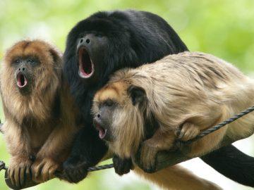 8 Hewan yang Memiliki Suara Paling Keras di Dunia 12