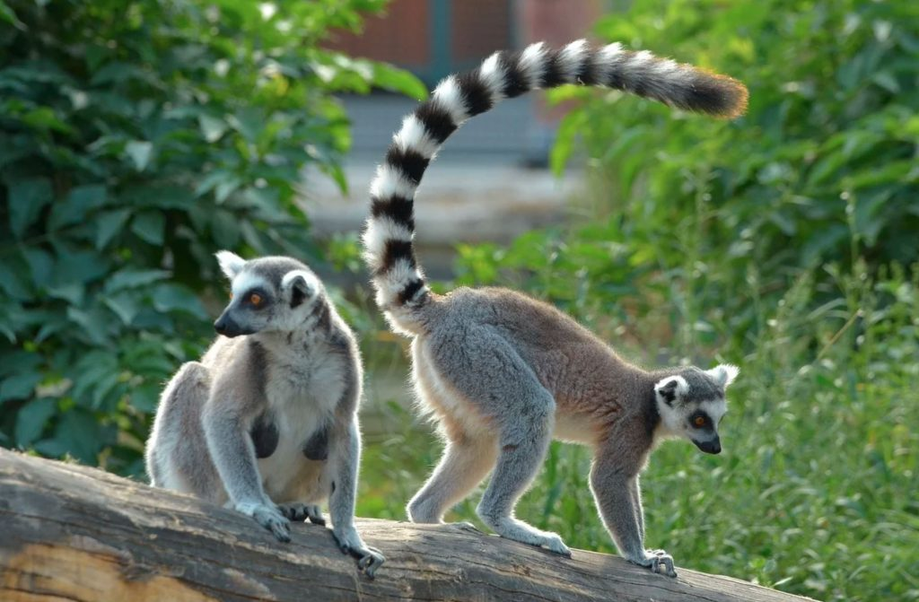 Daftar Hewan Nokturnal, no 8 Karakter di Madagaskar! 10