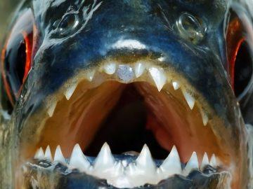 12 Ikan Air Tawar Terganas Di Dunia 20