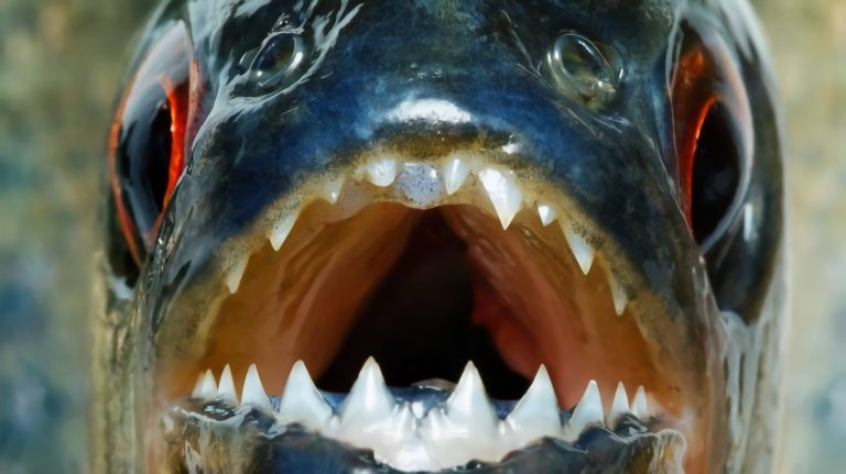 12 Ikan Air Tawar Terganas Di Dunia 1