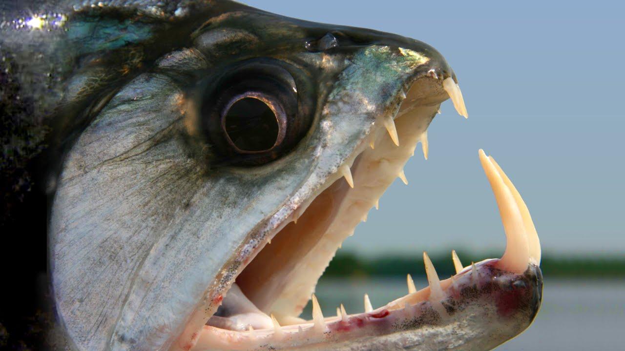 5 Hewan yang Memiliki Gigi Paling Menakutkan 7