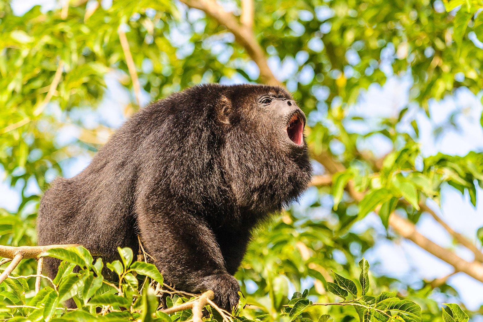 8 Hewan yang Memiliki Suara Paling Keras di Dunia 9