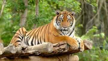 4 Hewan Asli Indonesia ini Ternyata Sudah Dinyatakan Punah 1