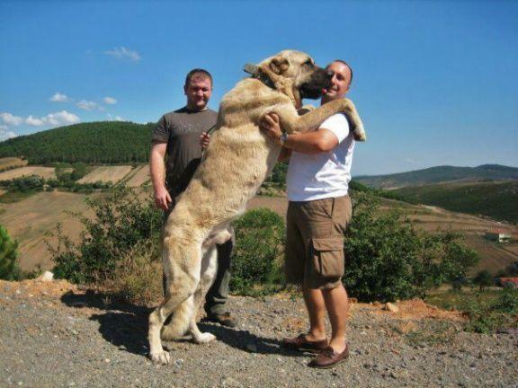 5 Anjing Terpanjang di Dunia, Mau Pelihara? 7