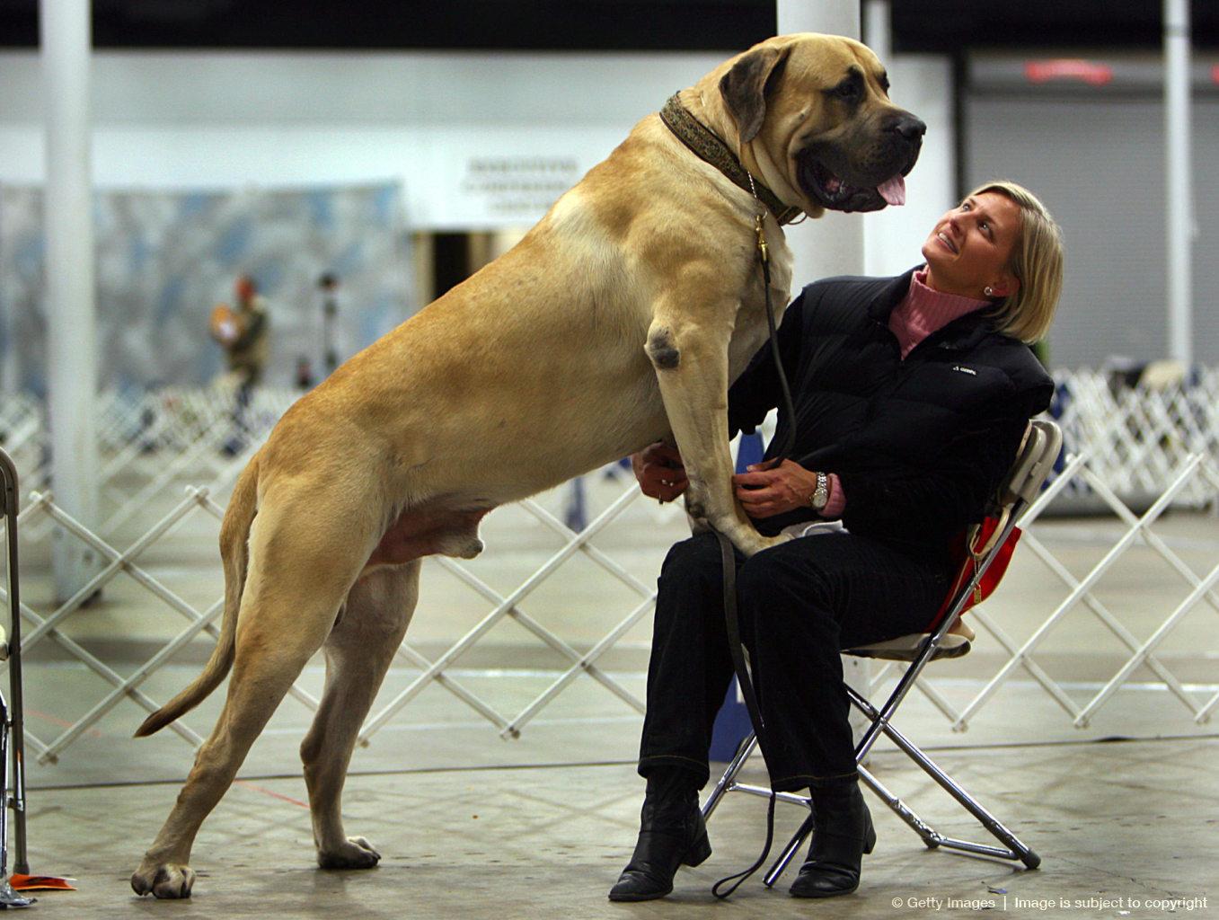 5 Anjing Terpanjang di Dunia, Mau Pelihara? 6