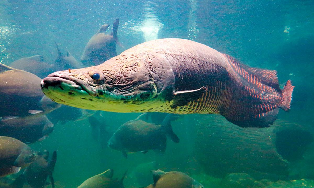 12 Ikan Air Tawar Terganas Di Dunia 9