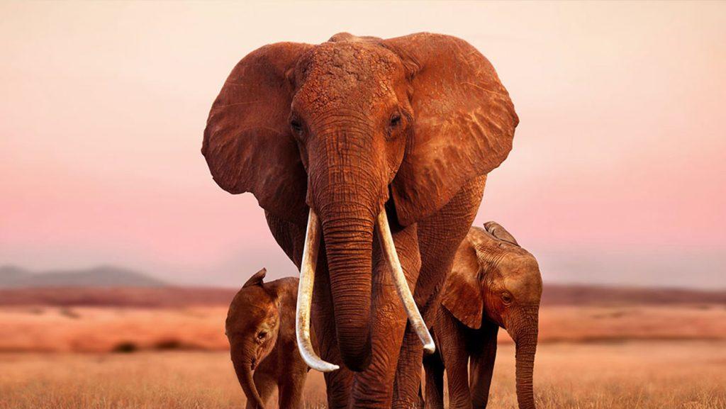 Jika Begini Terus, Bagaimana Nasib Gajah Kedepannya? 3