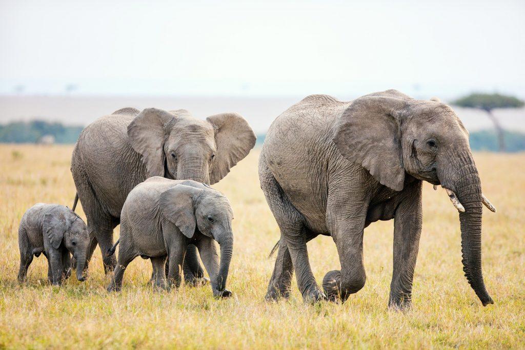 Jika Begini Terus, Bagaimana Nasib Gajah Kedepannya? 5