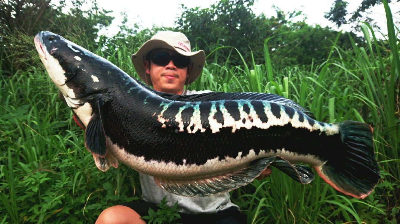 12 Ikan Air Tawar Terganas Di Dunia 14