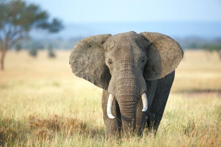 Jika Begini Terus, Bagaimana Nasib Gajah Kedepannya? 1