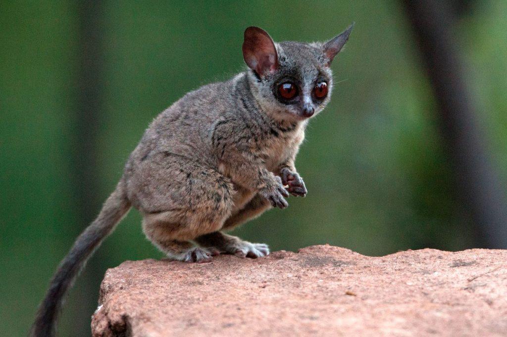 Daftar Hewan Nokturnal, no 8 Karakter di Madagaskar! 5