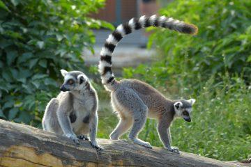 9 Hewan yang Memiliki Ekor Terpanjang di Dunia 4