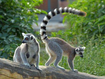 9 Hewan yang Memiliki Ekor Terpanjang di Dunia 10