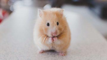 4 Tanda Tanda Hamster Akan Melahirkan 12
