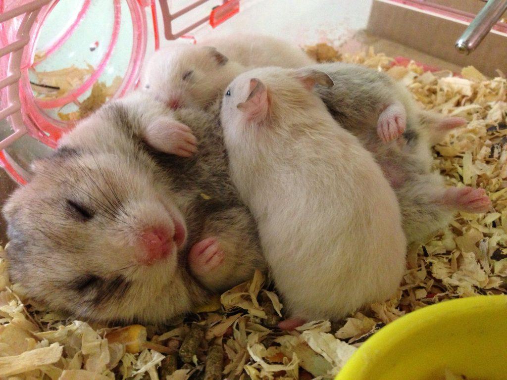 4 Tanda Tanda Hamster Akan Melahirkan 6