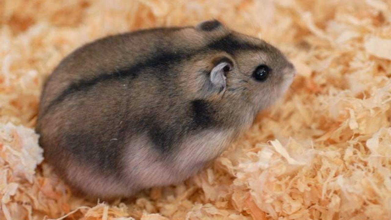 4 Tanda Tanda Hamster Akan Melahirkan 3