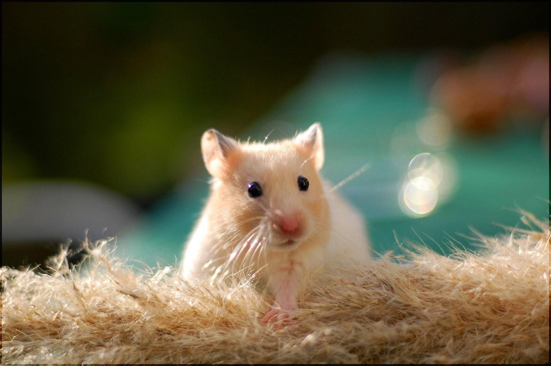 4 Tanda Tanda Hamster Akan Melahirkan 5