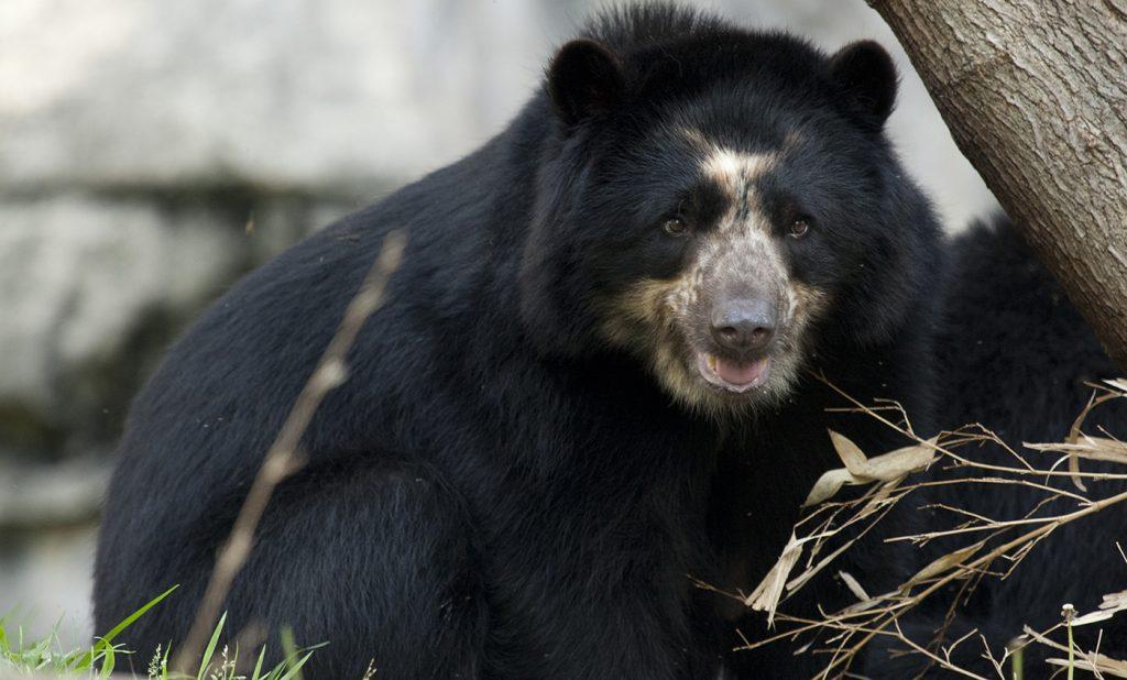 8 Jenis Beruang yang Tersisa di Dunia Saat Ini 8