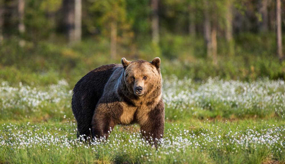 8 Jenis Beruang yang Tersisa di Dunia Saat Ini 3