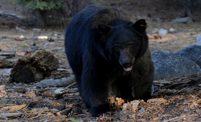 8 Jenis Beruang yang Tersisa di Dunia Saat Ini 10