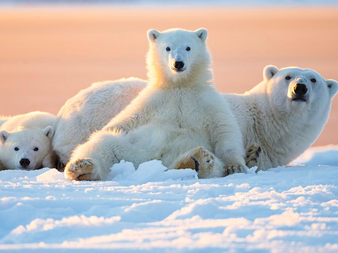 8 Jenis Beruang yang Tersisa di Dunia Saat Ini 4