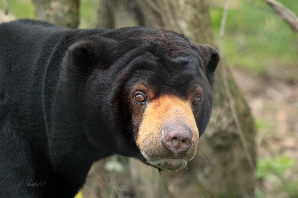 8 Jenis Beruang yang Tersisa di Dunia Saat Ini 6