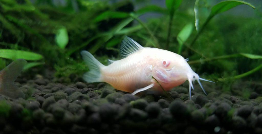 5 Jenis Ikan Lele Yang Bisa Dibudidayakan 7
