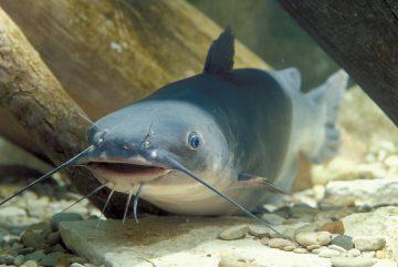 5 Jenis Ikan Lele Yang Bisa Dibudidayakan 14