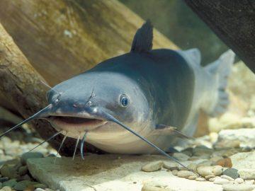 5 Jenis Ikan Lele Yang Bisa Dibudidayakan 9