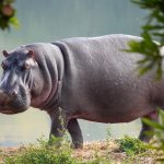 5 Fakta Unik dari Kuda Nil, Si Hewan Asli Afrika 2