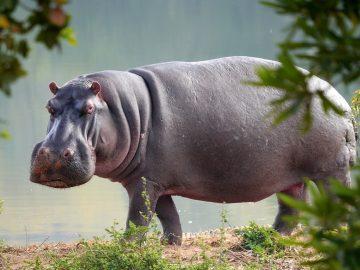 5 Fakta Unik dari Kuda Nil, Si Hewan Asli Afrika 28