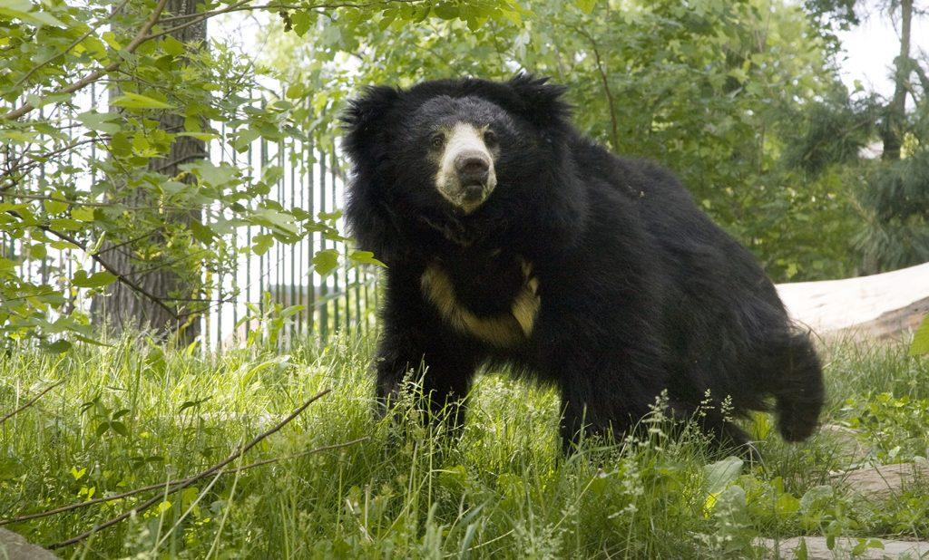 8 Jenis Beruang yang Tersisa di Dunia Saat Ini 7