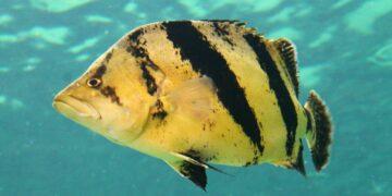 Tiger Fish, Ikan Mahal Yang Bikin Kaya Raya 35