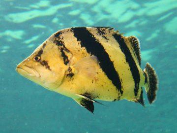 Tiger Fish, Ikan Mahal Yang Bikin Kaya Raya 8