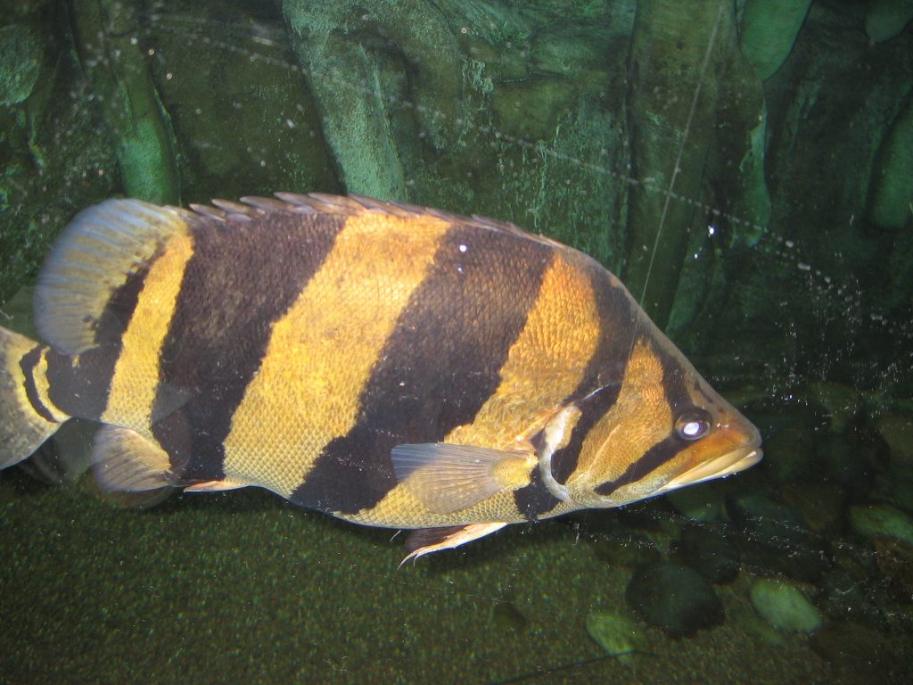 Tiger Fish, Ikan Mahal Yang Bikin Kaya Raya 5