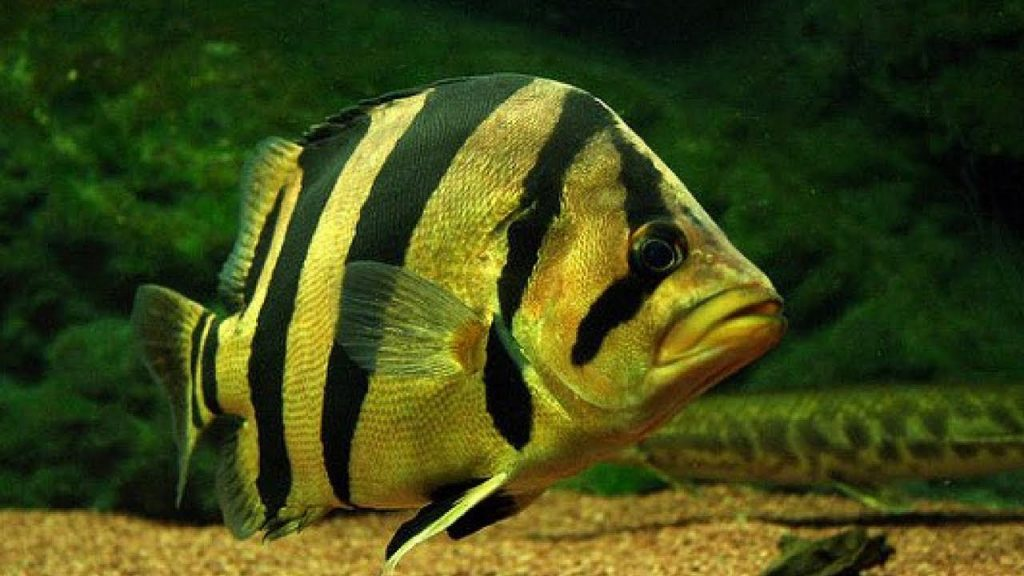 Tiger Fish, Ikan Mahal Yang Bikin Kaya Raya 3
