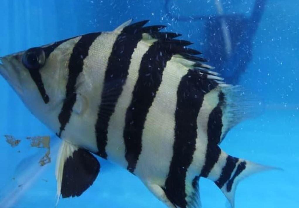 Tiger Fish, Ikan Mahal Yang Bikin Kaya Raya 4