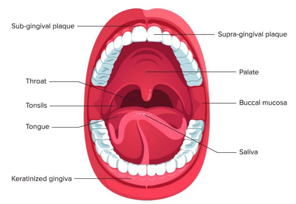 Macam Organ Pencernaan Manusia 3