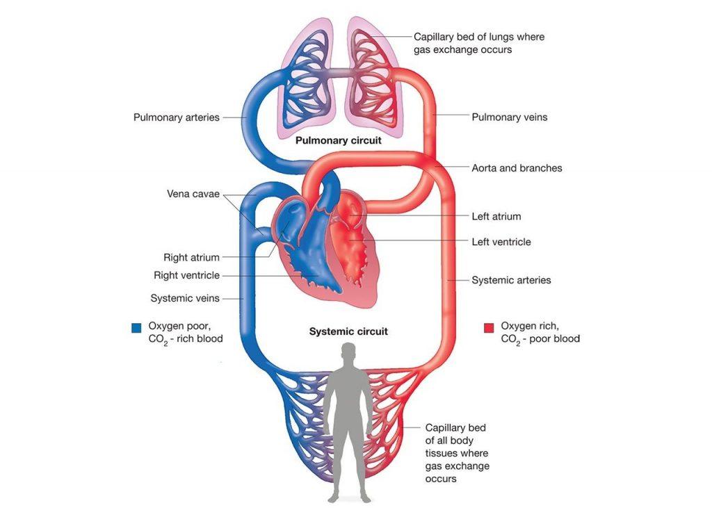 Memahami Sistem Peredaran Darah Yang Ada Pada Manusia 2