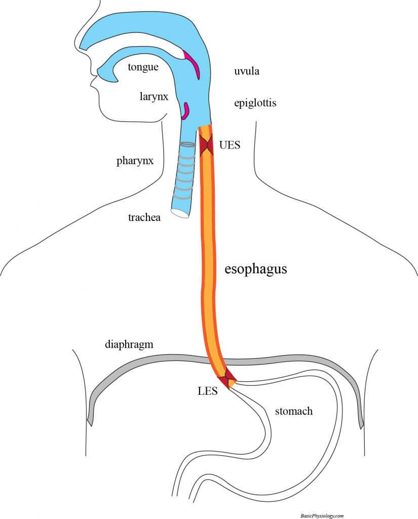 Macam Organ Pencernaan Manusia 5