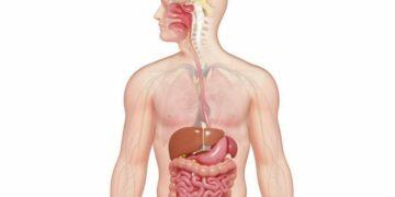 Macam Organ Pencernaan Manusia 19